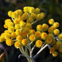 Бессмертник цветки