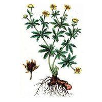 Калган корень: лечебные свойства и рецепты