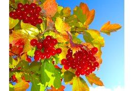 Свойства ягод калины красной