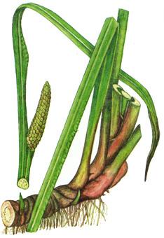 Аир болотный: лечебные свойства и противопоказания