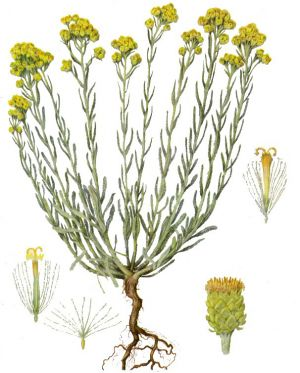 Бессмертник фото растения