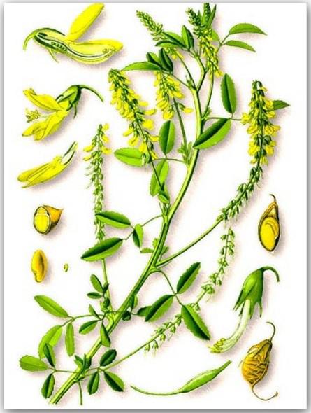 О траве донник (буркун): как выглядит, полезные свойства и применение
